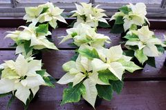 Several stunning potted poinsettia plants in the bright white color of Wintertime set on table of gardening center royalty free stock image