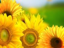Sunflowers background Royalty Free Stock Photo