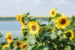 Several sunflowers on sunny day Royalty Free Stock Image