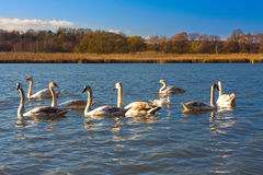 Several swans Stock Photography