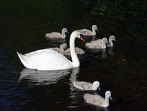 Several Swans Swimming. Adult white mute swan surrounded by flock of young swans as they swim across the nashawannuck pond in easthampton, massachusetts Royalty Free Stock Photo