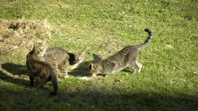 Several tabby cats eating on grass royalty free stock image