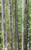 Several tall tree stems in woods Stock Photography