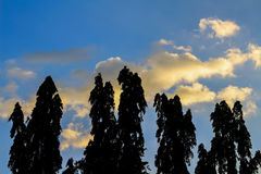 Several tall trees stand against a blue sky Royalty Free Stock Image
