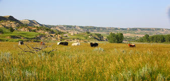 Several Texas Longhorn cattle in Theodore Roosevelt National Park. Longhorn herd in Theodore Roosevelt National Park amid the green fields of summmer royalty free stock photos