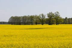 Several Trees Among The Rapeseed Field Royalty Free Stock Photos
