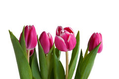 Several tulips. Severall red tulips white isolated Stock Photography