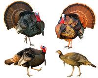 Several Turkey toms strutting Royalty Free Stock Photos