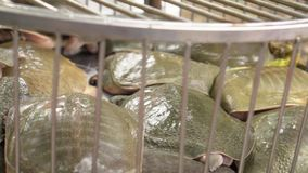 Several turtles in a cage in the market. The turtle has pushed the head rods. The market in Vietnam. Fresh products. On this video you can see turtles in a cage stock footage