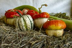 Several types, shapes and colors of Cucurbita royalty free stock photo