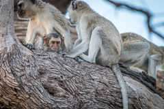 Several Vervet monkeys resting on a tree. Royalty Free Stock Photos