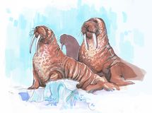 Several walrusin the Arctik on an iceberg. Several walrus in the Arctic on an iceberg, an ice floe. brown female and male with large tusks Royalty Free Stock Photos