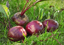 Several washed beet lies on the green grass Royalty Free Stock Images