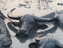 Several Water Buffalos Wallowing in a Mud Hole in Asia - Closer. Using the mud for protection from the sun and flies, several water buffalos wallow in a mud hole Stock Photo