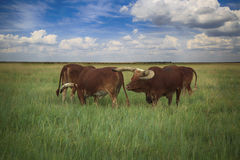 Several Watusi in Steppe Stock Images