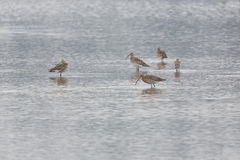 Several western curlews Numenius arquata during foraging in a Royalty Free Stock Images