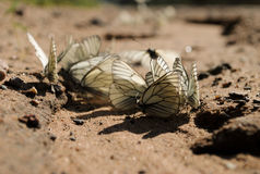 Several white butterflies on the sandy road Royalty Free Stock Photos