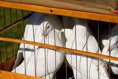Several white doves sit in a wooden cage. Close up. Horizontal view Stock Images