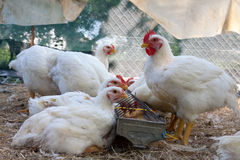 Several white hens Royalty Free Stock Photography