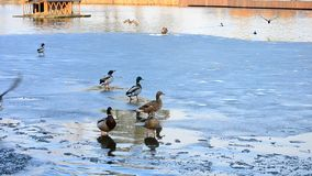Several wild ducks take wing one after another stock video footage