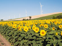 Several windmills in a sunflowers fields Royalty Free Stock Photo