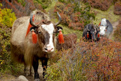 Several yaks passing to the pasture in the himalayan mountains. Nepal stock image