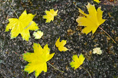 Several yellow autumn maple leaves Royalty Free Stock Photo