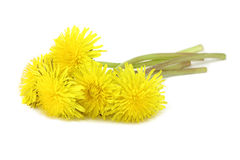 Several yellow dandelions. On a white background Stock Images