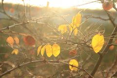 Several yellow and orange leaf on the branches of a tree in the gentle light of sunset. Beautiful sunny autumn natural background stock photo