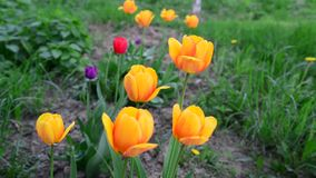 Several yellow tulips on lawn stock footage