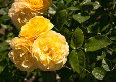 Yellow roses with blurred leaves in the background stock image