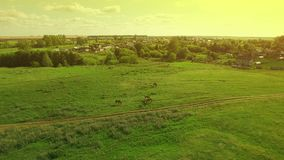 Several young beautiful horses graze in the evening on a meadow at yellow red sunset, aerial view fly around and away