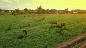 Several young beautiful horses graze in the evening on a meadow at yellow red sunset, aerial view fly around and up