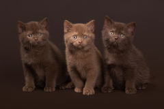 Several young british kittens Stock Images