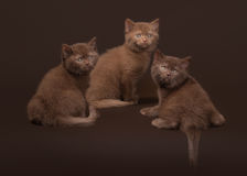 Several young british kittens Stock Photography