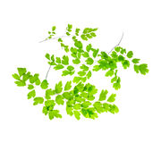 Several young green fern branches is isolated on white backgroun Royalty Free Stock Images