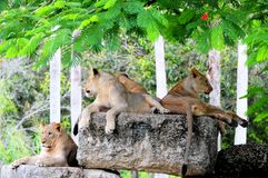 Several young lions at rest Stock Photos