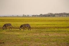 Several zebras grazing in the savannah of Amboseli Park. In Kenya Royalty Free Stock Photo