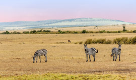 Several zebras Royalty Free Stock Photography