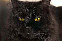Severe black cat looking to you Royalty Free Stock Images