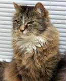 severe cat Royalty Free Stock Photos