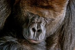 Gorilla male.  Portrait of a close-up of male gorilla in the zoo, the most dangerous and biggest monkey . Severe chief of the monkey family.  Look of a great Royalty Free Stock Image