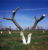 Severe cut back. Spring in Ukraine. Fruit trees with branches severely cut back Stock Photo