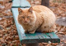 Severe ginger cat Stock Photos