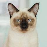 Severe and serious Thai cat looking strictly. Royalty Free Stock Photos