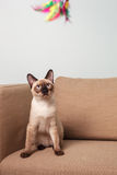 Severe and serious Thai cat looking strictly. Royalty Free Stock Photography