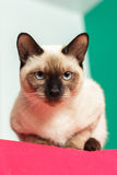 Severe and serious Thai cat looking strictly. Royalty Free Stock Images