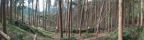 Severe storm damage after a thunderstorm in a coniferous forest. Severe storm damage after a thunderstorm in a mountainous coniferous forest in Steiermark Royalty Free Stock Images