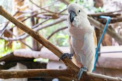 Severe white macaw Parrot,Close up The Chestnut fronted Macaw.  royalty free stock photos