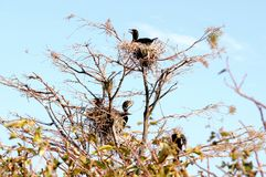 Severel double-crested cormorants in nests Stock Photos
